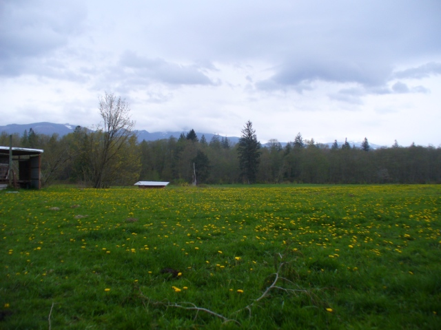 ields of English dandelions with the Cascade mountains rimming the horizon