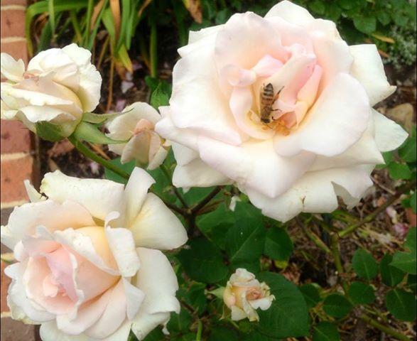 rose-n-bee