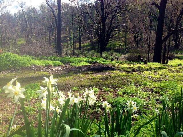 WFH-jonquils-east-weeds